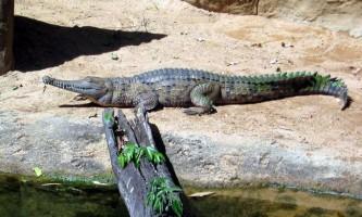 Узкорилий крокодил мешкає в австралії