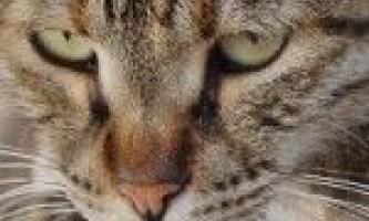 Дізнайтеся, скільки живуть кішки в домашніх умовах