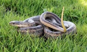 Візерунчастий полоз - розписна змія