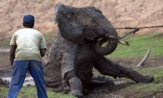 В африці молодий слон був дивом врятований з ями
