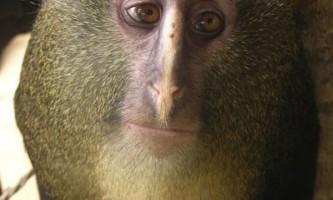 В африці, вперше за 28 років, знайдений новий вид мавп