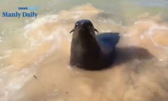 У австралії агресивний морський котик напав на серфера