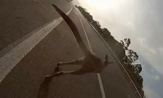 У австралії кенгуру влаштував дтп, збивши велосипедистку