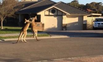 У австралії кенгуру влаштували вуличну бійку