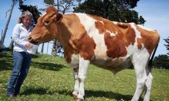 У австралії знайдена найбільша корова в світі