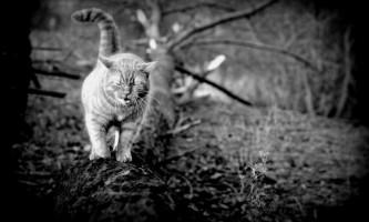 У австралії оголошений геноцид бродячих кішок