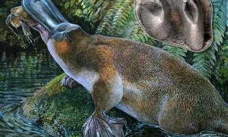 У австралії виявлені останки гігантського зубастого качкодзьоба