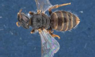 У австралії виявлені узкоголовие і «длінноротие» бджоли