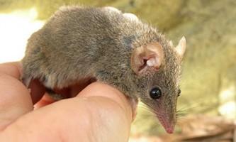 У австралії виявили новий вид сумчастої миші