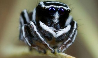 У австралії відкриті нові види барвистих павуків
