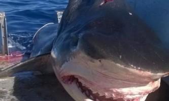У австралії зловили гігантську шестиметрову акулу