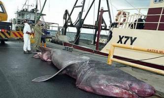 У австралії спіймана рідкісна гігантська акула