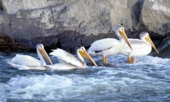 У австралії рибалки врятували чотирьох пеліканів