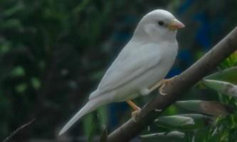 У австралії вдалося сфотографувати білого горобця