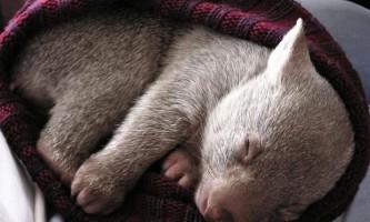 У австралії закінчився конкурс на роль «обіймача» осиротілого вомбата