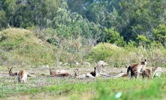 У австралії жінка побилася з кенгуру, захищаючи доньку