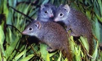 В австралійському зоопарку врятували рідкісний вид тварин