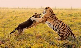 В австралійському зоопарку тигр подружився з вівчаркою