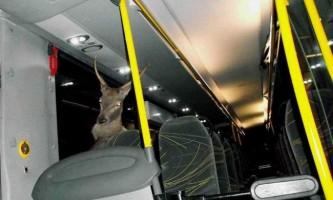 В австрії олень влетів у салон автобуса через лобове скло