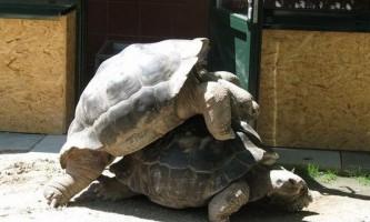 В австрійському зоопарку розпався 115-річний черепашачий шлюб