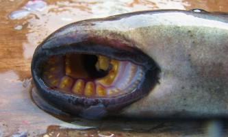 У балтійському морі голодні міноги нападають на плавців