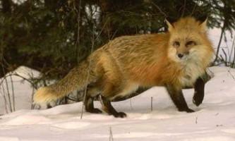 У білорусії лисиця вистрілила в мисливця з рушниці
