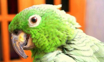 У болівії живе найтовстіша папуга