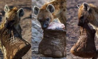 В ботсвані гієна відкусила ногу слона