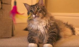 У британії знайшли найдовшу кішку в світі
