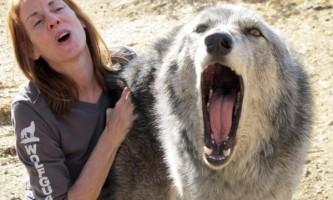У центрі порятунку волкособи на аляски