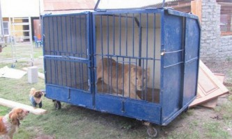 У челябінської області хотіли приспати «зайву» левицю