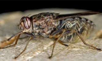 У чому небезпека мух?
