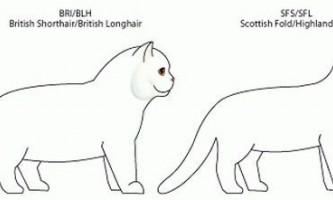 У чому відмінність між британськими та шотландськими кішками?