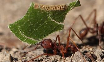 У чому секрет мурах-листорізів?