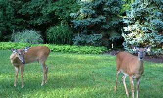 У цинциннаті хочуть зменшити популяцію оленів
