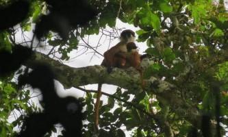 У нетрях конго була сфотографована «вимерла мавпа»