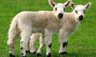 В європі заборонять клонування сільськогосподарських тварин