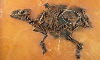 В германии знайдена вагітна кінь віком 48 мільйонів років