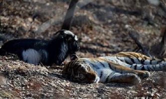 В гості до козла тимуру і тигру амуру приїдуть діти з новоросії