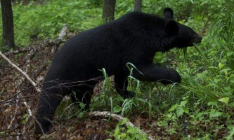 У хабаровську вулицями ходить гімалайський ведмідь