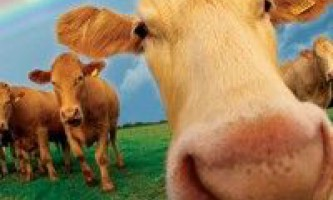У харківській області хочуть створити селекційно-генетичний центр, в якому корів можна буде вирощувати з ембріонів