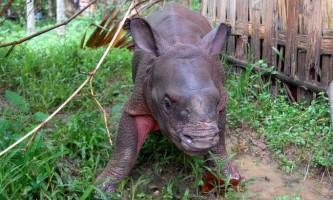 В індії маленьких носорогів врятували від повені
