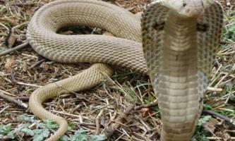 В індії на поле футбольної арени виповзли отруйні змії