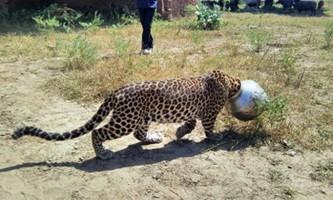 В індії врятували застряглого головою в бідоні леопарда