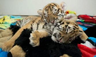 В індійському зоопарку з`явилися бенгальські тигренята