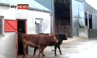 У ірландії живе надзвичайно розумна корова