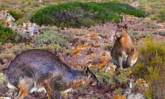 В іспанії виявлений гігантський непригающій кролик