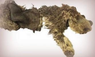 У якутії знайдено останки дитинчати шерстистого носорога, який помер 34 тисячі років тому