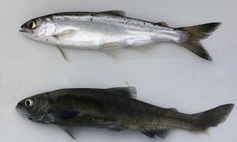 В японії знайдений `` вимерлий `` лосось
