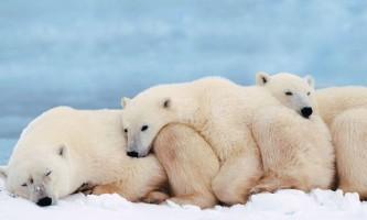 Впадають чи в зимову сплячку білі ведмеді